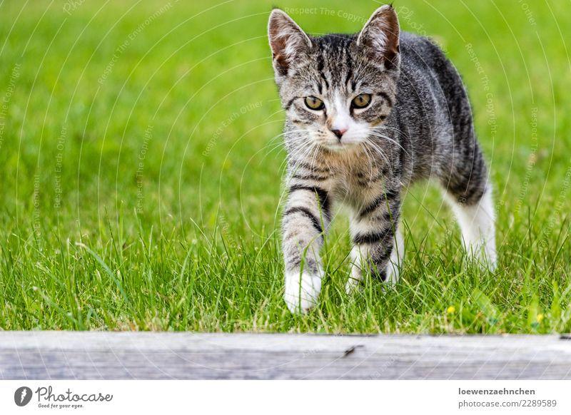 Taps, taps... Katze Tier Tierjunges Gras Garten gehen wild wandern elegant Abenteuer entdecken geheimnisvoll sportlich Haustier Fell hören