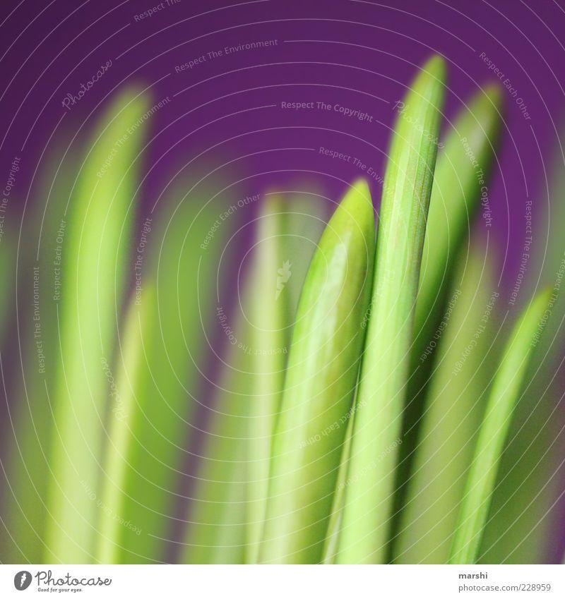 Frühlingserwachen Umwelt Natur Pflanze Gras grün violett Frühlingsfarbe Farbfoto Außenaufnahme Unschärfe grasgrün natürlich Menschenleer Spitze Detailaufnahme
