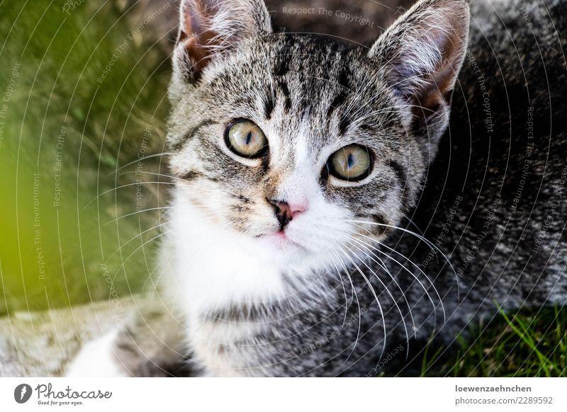 Fokussiert Tier Haustier Katze Tiergesicht Fell 1 Tierjunges beobachten entdecken hören Blick warten Neugier achtsam Wachsamkeit Interesse Erfahrung Farbfoto
