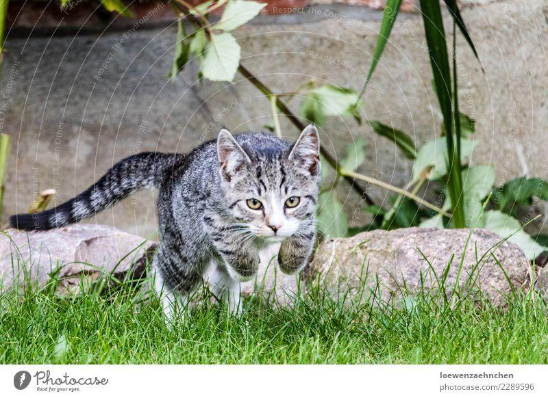Angriff Umwelt Natur Tier Gras Garten Haustier Katze 1 Tierjunges Stein beobachten entdecken fangen fliegen Jagd Spielen sportlich Erfolg natürlich Kraft