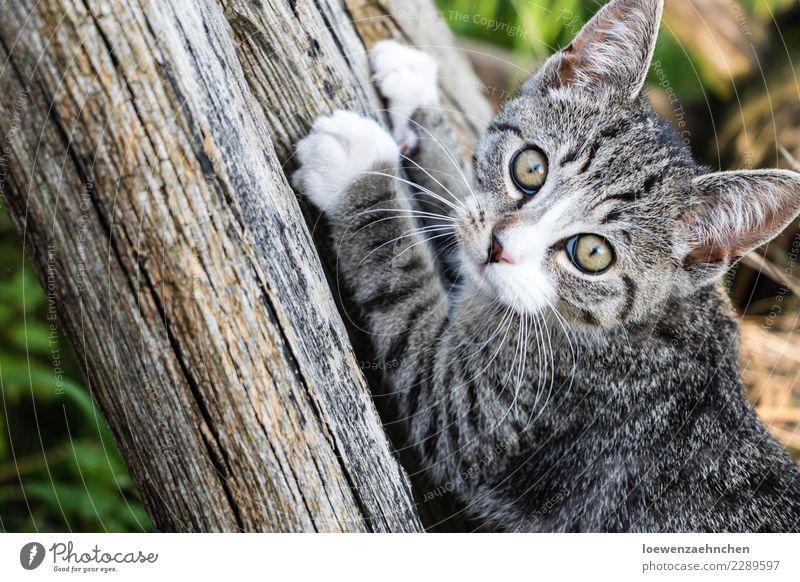 Wachsam, der Kleine Katze Tier Tierjunges Holz authentisch Neugier entdecken Haustier Fell Wachsamkeit Tiergesicht Interesse Pfote achtsam Krallen Tierliebe