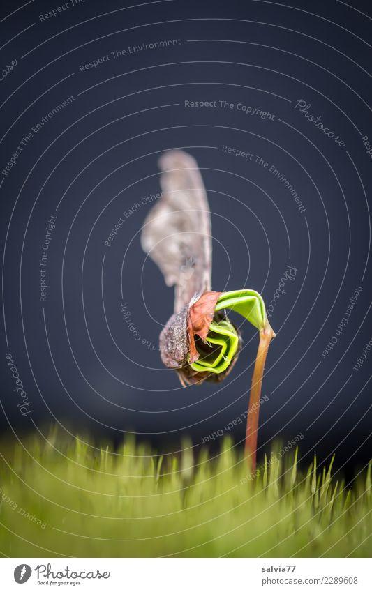 wachsen und gedeihen | Kraftakt Umwelt Natur Pflanze Erde Frühling Baum Moos Blatt Grünpflanze Wildpflanze Ahorn Ahornkeimling Keim Baumschössling Samen Wald