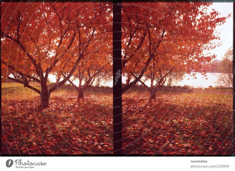 goldschauer Umwelt Natur Landschaft Pflanze Herbst Klima Wetter Baum Park Seeufer ästhetisch außergewöhnlich authentisch natürlich Stimmung rot knallig Farbfoto