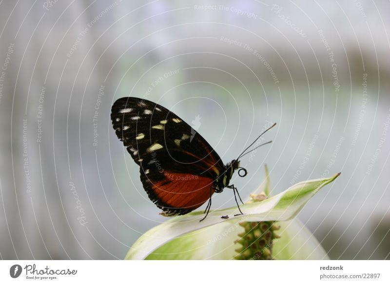 Schmetterling II Natur rot ruhig Blatt schwarz Erholung frei schlafen Fühler gepunktet