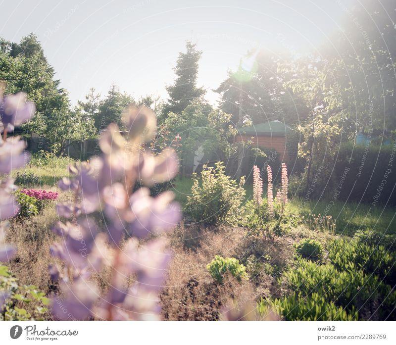 Verheißungsvoll Umwelt Natur Landschaft Pflanze Schönes Wetter Baum Blume Sträucher Lupine Lupinenblüte Garten Blühend hell Idylle Paradies Farbfoto