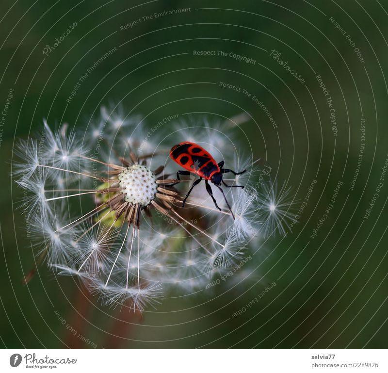 Gesicht auf'm Rücken Natur Pflanze Farbe grün weiß rot Tier schwarz Umwelt Blüte Frühling Wiese oben Zufriedenheit Insekt Samen