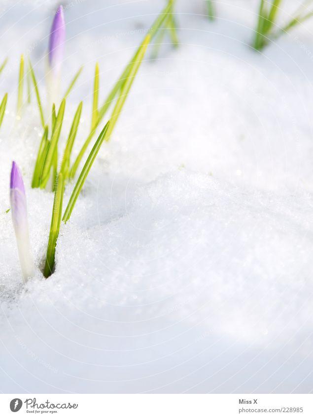 Da spitzt was! Natur Pflanze Frühling Winter Schönes Wetter Schnee Blume Blatt Blüte Park Wiese Blühend Wachstum kalt grün violett Beginn Krokusse Frühblüher
