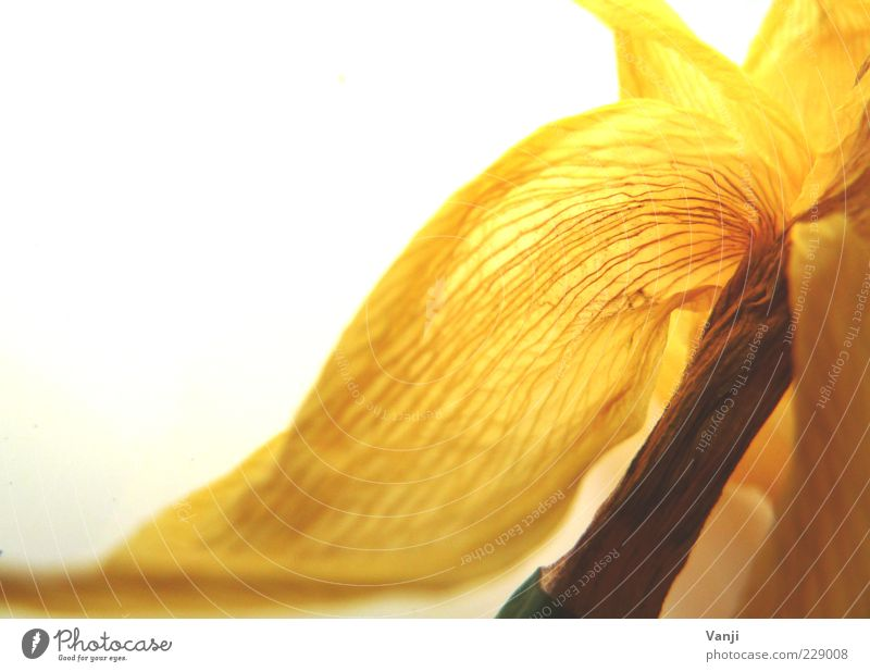 Zerbrechlich Natur Pflanze Blume gelb Blüte natürlich authentisch Wandel & Veränderung vertrocknet Makroaufnahme Blütenblatt welk Blattadern Frühlingsgefühle