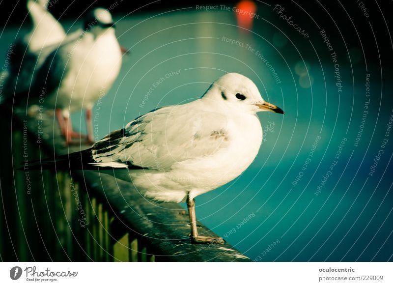 Neckartiere blau Tier Umwelt Deutschland Vogel elegant sitzen warten frei ästhetisch Wildtier Brücke Europa Tiergruppe Fluss weich