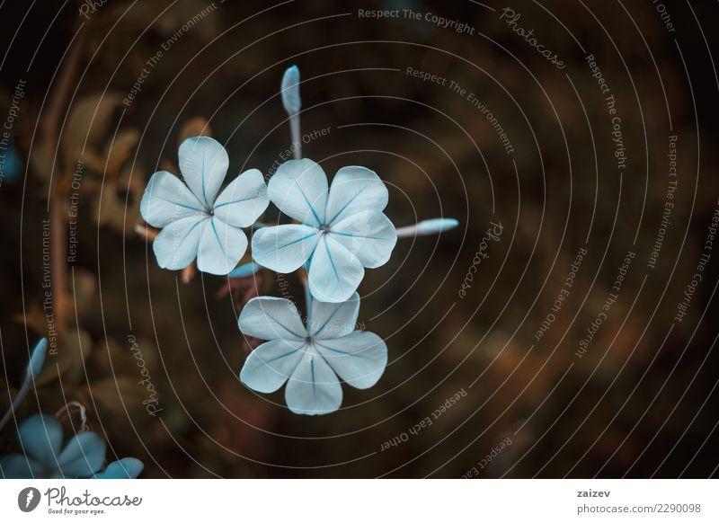Flores azules de plumbago sobre fondo marrón Design schön Sommer Garten Dekoration & Verzierung Gartenarbeit Internet Natur Pflanze Frühling Herbst Winter Blume