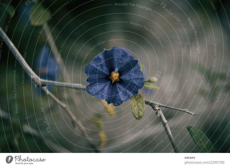 Flor azul de cistus al natural en la rama schön Sommer Garten Natur Pflanze Frühling Blume Blatt Blüte Park Wiese Feld Felsen Papier natürlich wild blau grün