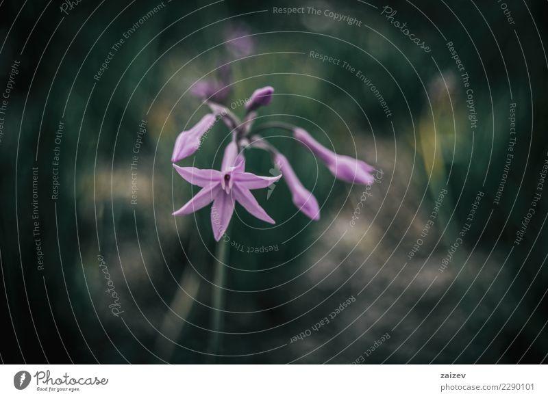 Bokeh von lila Tulbaghia-Blume auf grünem Hintergrund Natur Pflanze Sommer Farbe Blatt Blüte Frühling natürlich klein Garten rosa wild Park elegant