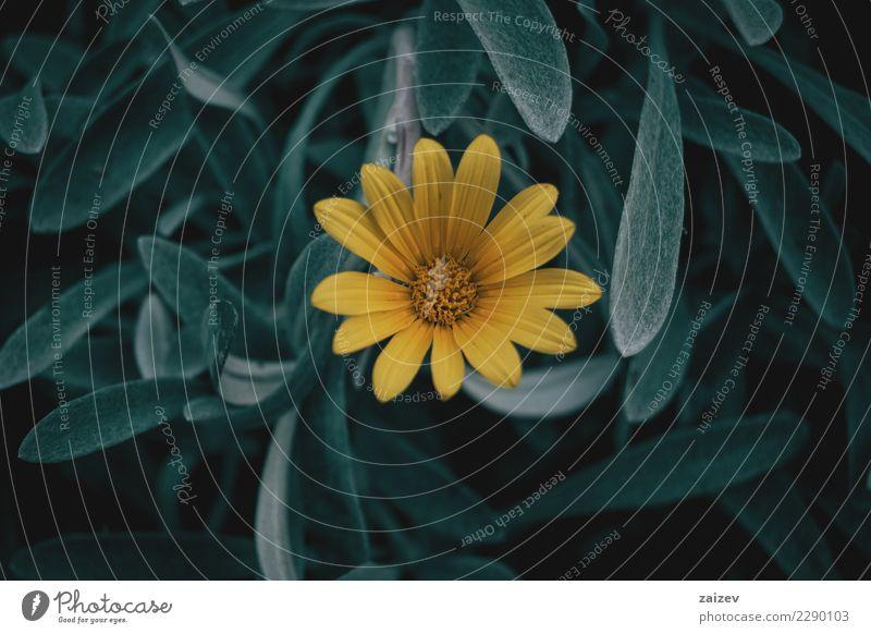 Gelbe Gazaniablume auf blaugrünen Blättern Natur Pflanze Sommer Farbe schön Blume Blatt ruhig dunkel gelb Umwelt Frühling Garten grau Stimmung