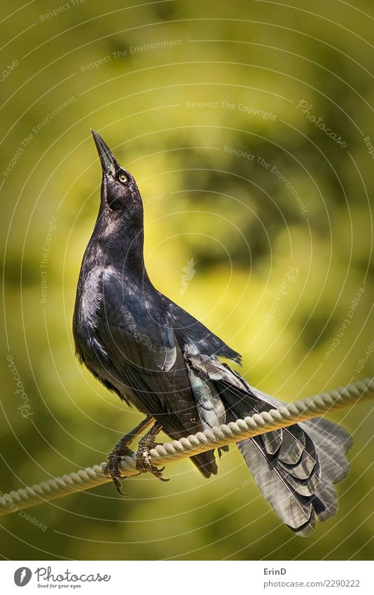 Schwarzer Vogel steht auf Seil nah oben mit grünem Hintergrund Sonne Halloween Natur Tier Wildtier 1 hell wild gelb schwarz geheimnisvoll Amsel Krähe Rabe Auge