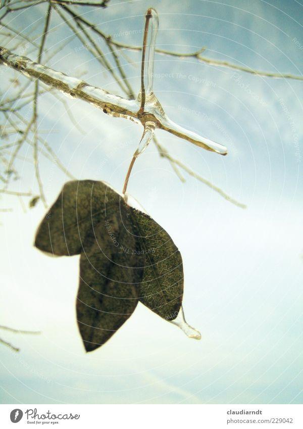 Eis am Stiel Natur Pflanze Himmel Winter Frost Blatt hängen gefroren eispanzer Zweig überzogen bewegungslos kalt erstarren Eisschicht Farbfoto Nahaufnahme