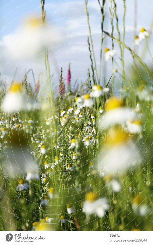 Sommer, komm bald Kamille Kamillenblüten Duft Wiese Wiesenblume Heilpflanzen blühende Blumen Sommerblumen Blumenwiese natürlich gelb Schönes Wetter Wildpflanze