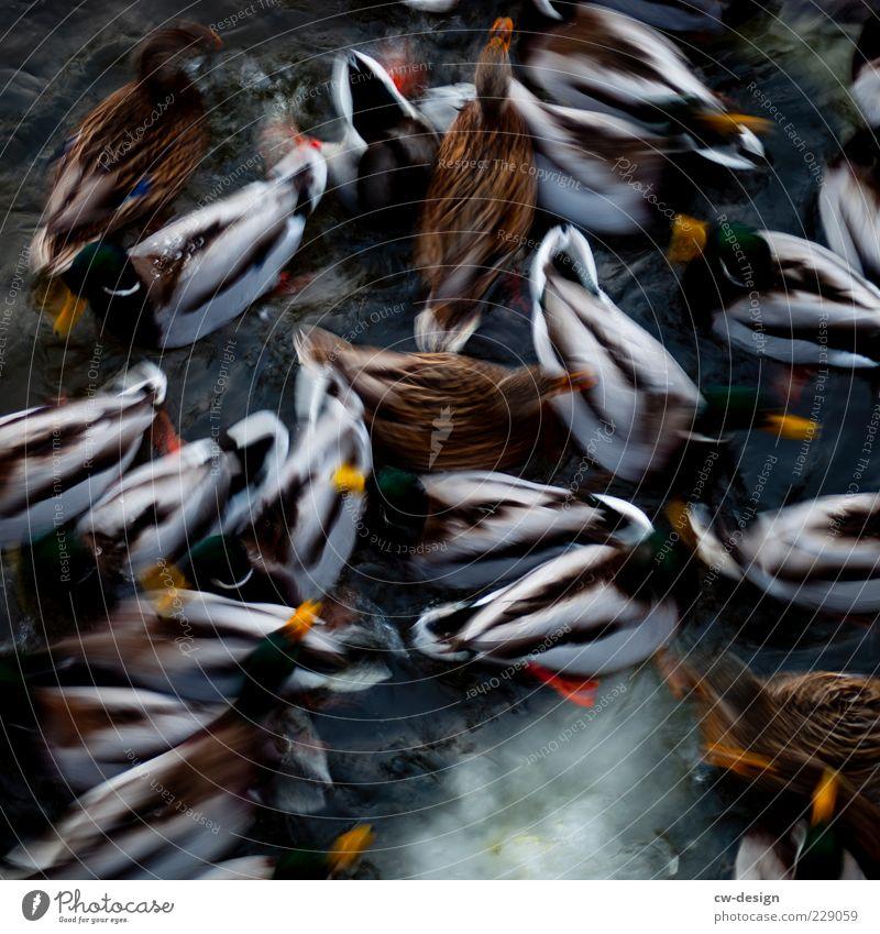 Ente süß/sauer (unscharf) Natur Wasser Winter See Fluss Tier Tiergruppe Schwarm füttern nass viele blau braun grün schwarz Wachsamkeit Nervosität gleich kalt