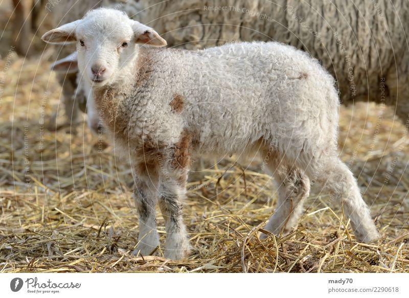 Neugeborene Lämmer auf dem Bauernhof im Frühling Landschaft weiß Sonne Tier Freude schwarz Gesicht gelb Liebe Familie & Verwandtschaft klein Glück Freundschaft