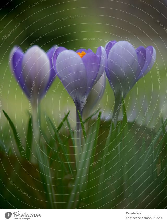 Lieblich Natur Pflanze Frühling Blatt Blüte Krokusse Garten Duft verblüht Wachstum ästhetisch authentisch grün violett orange Stimmung Frühlingsgefühle Beginn