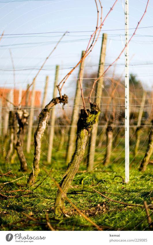 Alte Weinstöcke Umwelt Natur Landschaft Pflanze Sonnenlicht Schönes Wetter Gras Nutzpflanze Wachstum grün Weinbau Farbfoto Außenaufnahme Menschenleer Tag Licht