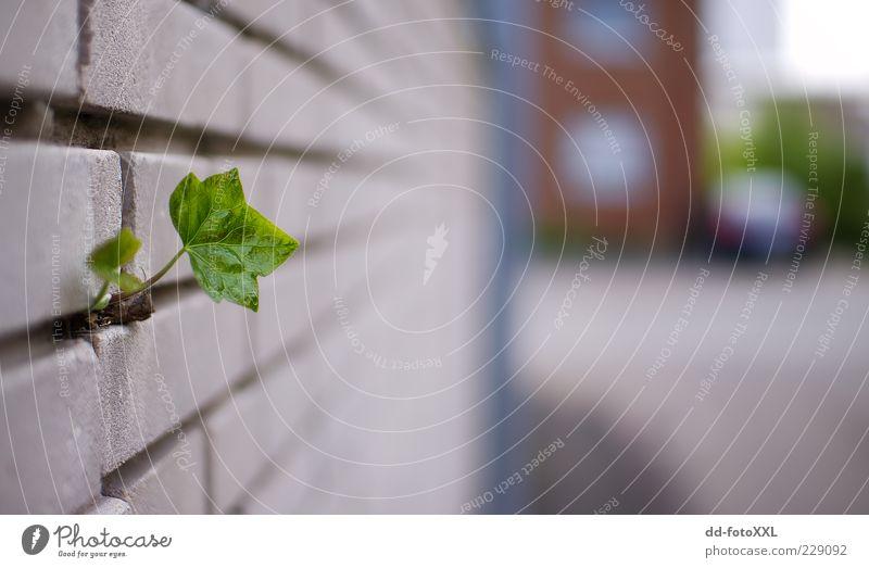 Lonely Natur Pflanze Blatt Wand Umwelt Mauer Wachstum außergewöhnlich Trieb Ranke Grünpflanze Durchbruch