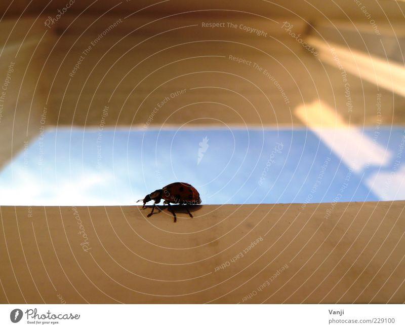 Flotter Käfer Tier 1 krabbeln blau Fenster Fensterscheibe Marienkäfer Farbfoto Tag Froschperspektive Ganzkörperaufnahme Holz Schatten