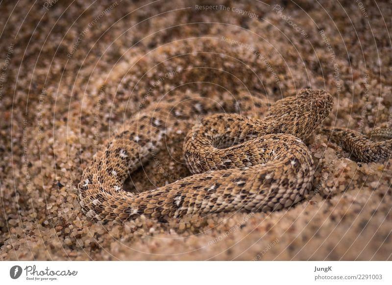 Getarnt exotisch Natur Tier Sand Wüste Wildtier Schlange 1 Bewegung wild Abenteuer Ferien & Urlaub & Reisen Überleben schlängeln Rückzug Sandviper Farbfoto