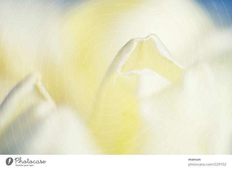 Crème fraîche Natur weiß schön Blume Blüte Frühling hell elegant frisch natürlich einzigartig weich zart Blühend Duft Tulpe