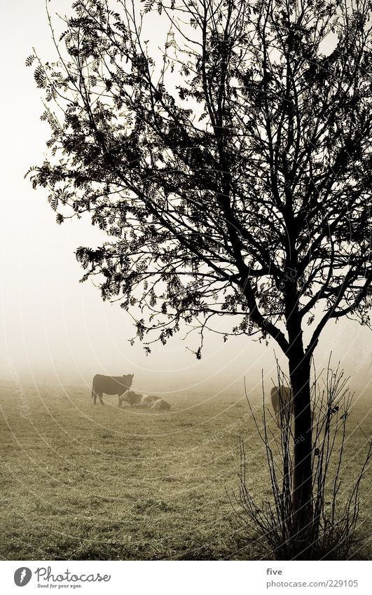 rumhängen II Umwelt Natur Landschaft Herbst schlechtes Wetter Nebel Eis Frost Pflanze Baum Sträucher Blatt Wiese Feld Hügel Tier Kuh 3 Herde kalt nass trist