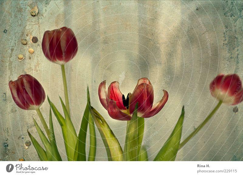 Im Auge des Betrachters grün rot Blume Blatt Frühling Mauer Blüte Kunst Fassade Vergänglichkeit Stengel Tulpe Blütenblatt welk verblüht Composing
