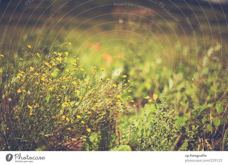 Vorfreude Natur Pflanze Sonnenlicht Sommer Schönes Wetter Gras Sträucher Blüte Grünpflanze Wildpflanze Wiese Blühend verblüht Wachstum natürlich grün Biotop