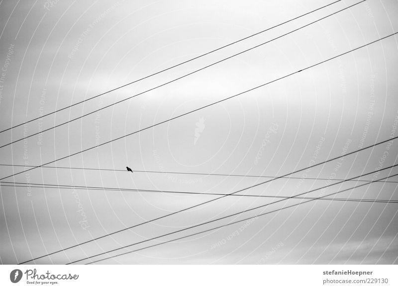 9 lines and a bird Natur Himmel Vogel sitzen warten frei Freiheit Kabel Schwarzweißfoto Außenaufnahme Tag Silhouette Wolkenhimmel graue Wolken trist Oberleitung