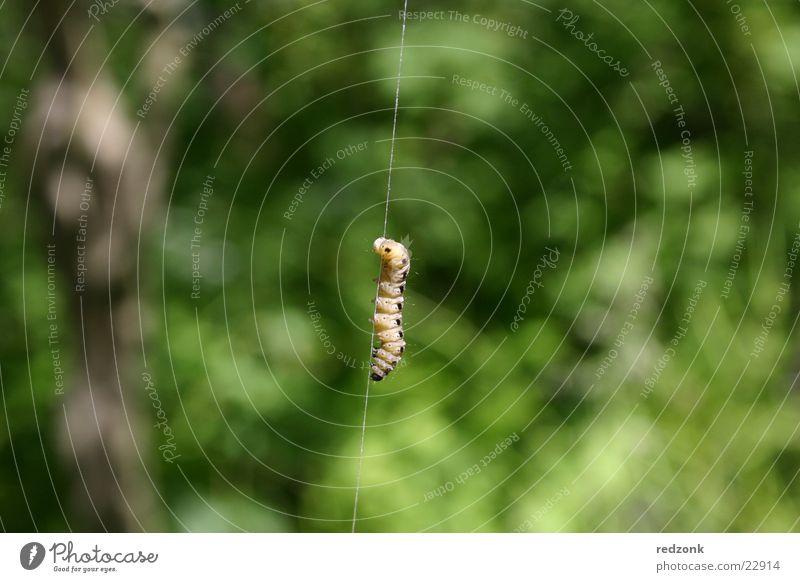 Raupenmakro Natur grün gelb geschlossen Insekt Klettern nah Nähgarn Bergsteigen Wurm Raupe