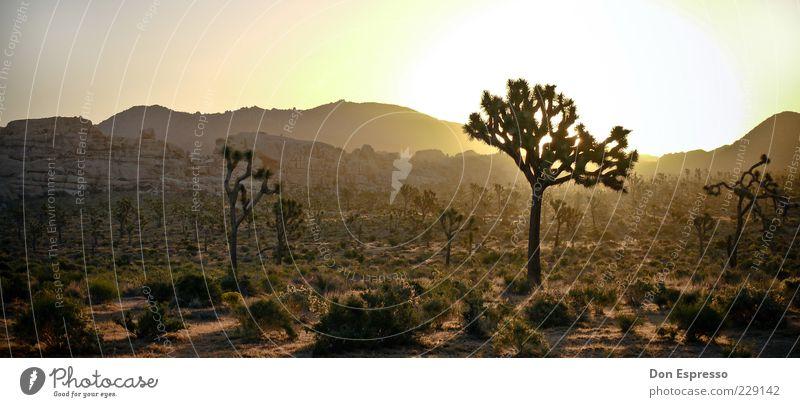 Joshua Tree II Sonne Sommer Ferne Erholung Freiheit Gefühle Berge u. Gebirge Wärme Stimmung Zufriedenheit Hintergrundbild Beginn Sträucher leuchten USA Wüste