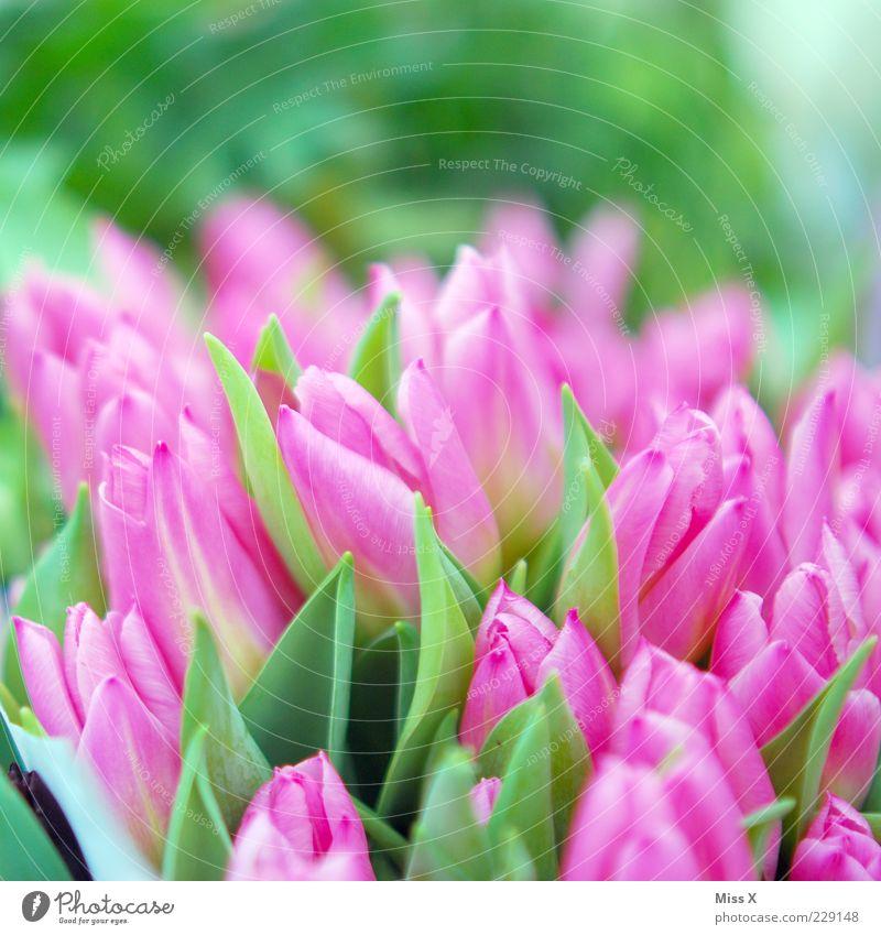 Happy Birthday Diegolino Pflanze Frühling Blume Tulpe Blatt Blüte Garten Blühend Duft Wachstum ästhetisch schön rosa Tulpenfeld Blumenstrauß Farbfoto mehrfarbig