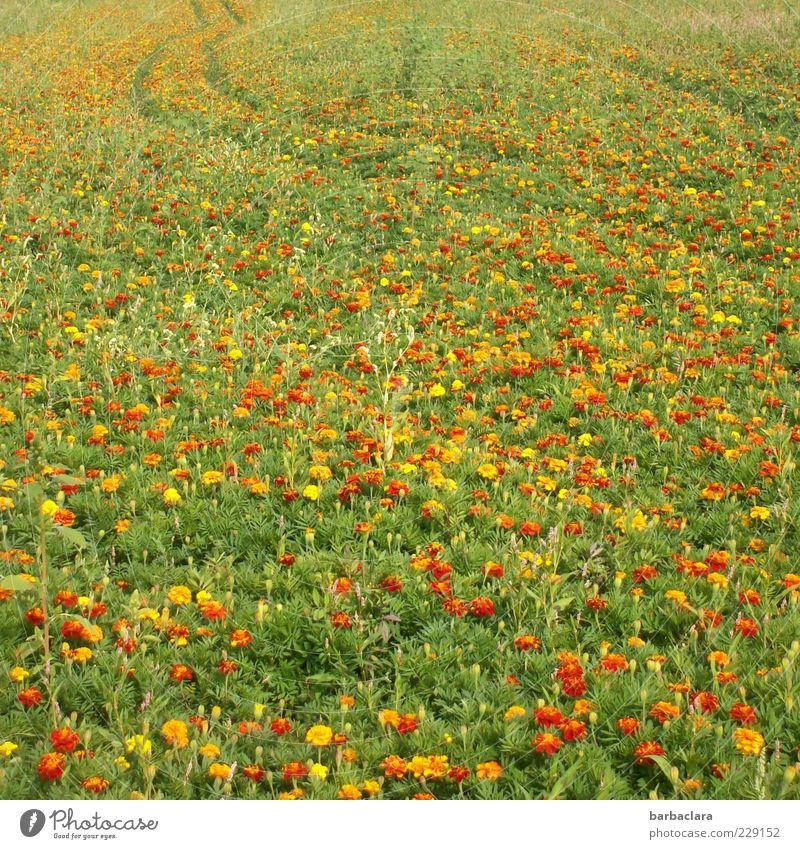 Tagetes - good for your eyes Natur schön Blume Pflanze Sommer gelb Wiese gold ästhetisch natürlich Blühend Duft Blumenwiese Erfahrung Kräuter & Gewürze Strukturen & Formen