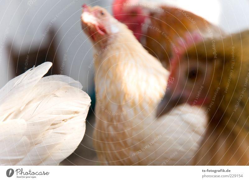 Was nun, Zwerghuhn? II Natur Tier Nutztier Tiergesicht 4 Tiergruppe Tierfamilie natürlich Neugier niedlich braun rosa rot Haushuhn Hühnervögel Tierhaltung
