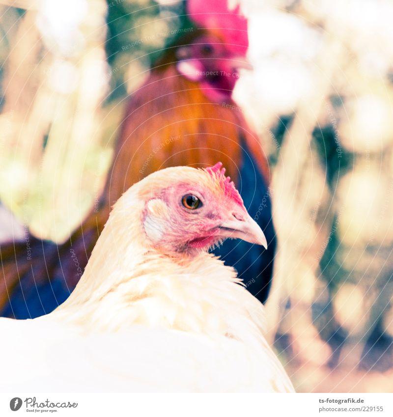 Was nun, Zwerghuhn? III Natur Tier Nutztier Vogel Tiergesicht 2 Tierpaar Neugier niedlich braun rosa rot Haushuhn Hühnervögel Hahn Hahnenkamm paarweise Schnabel