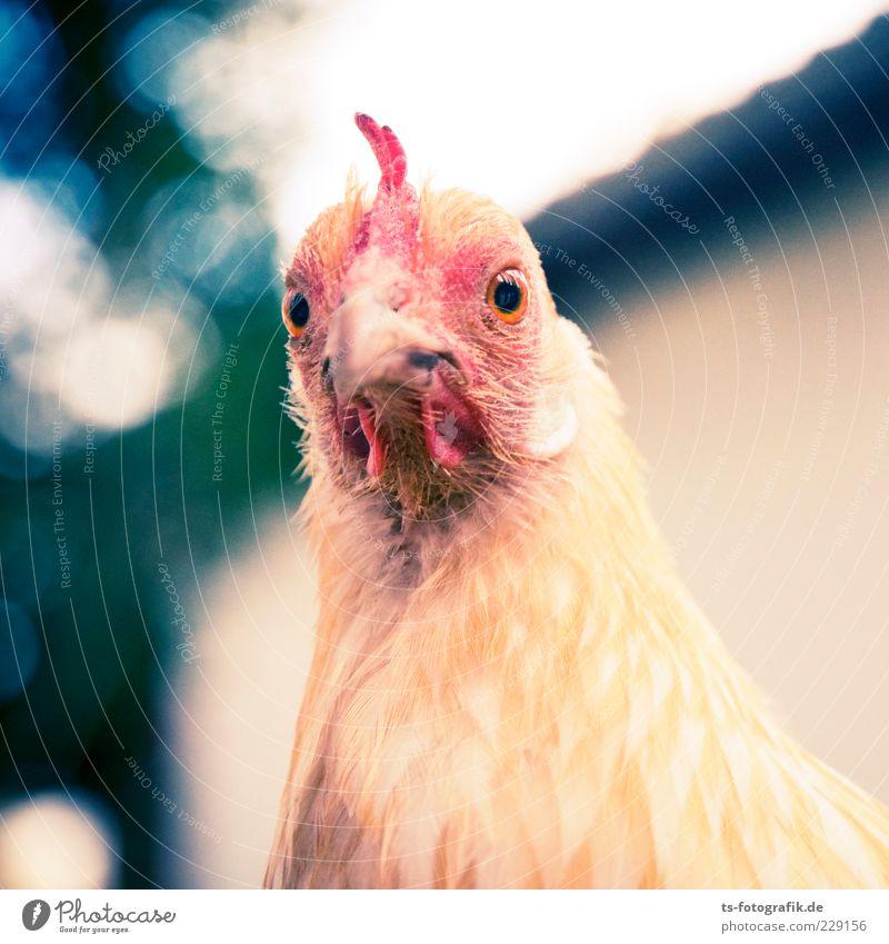Was nun, Zwerghuhn? IV Tier Nutztier Tiergesicht 1 natürlich Neugier niedlich gelb rosa rot Haushuhn Schnabel Feder Auge Hahn Tierliebe Natur Farbfoto