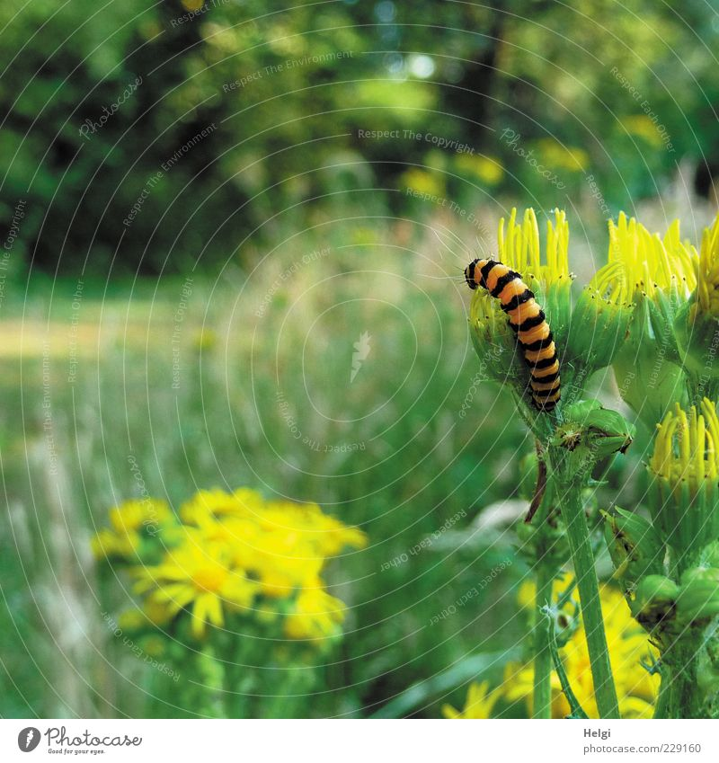 gestreift... Umwelt Natur Landschaft Pflanze Tier Sonnenlicht Sommer Schönes Wetter Blume Gras Sträucher Wildpflanze Wiese Wildtier Raupe 1 Blühend Fressen