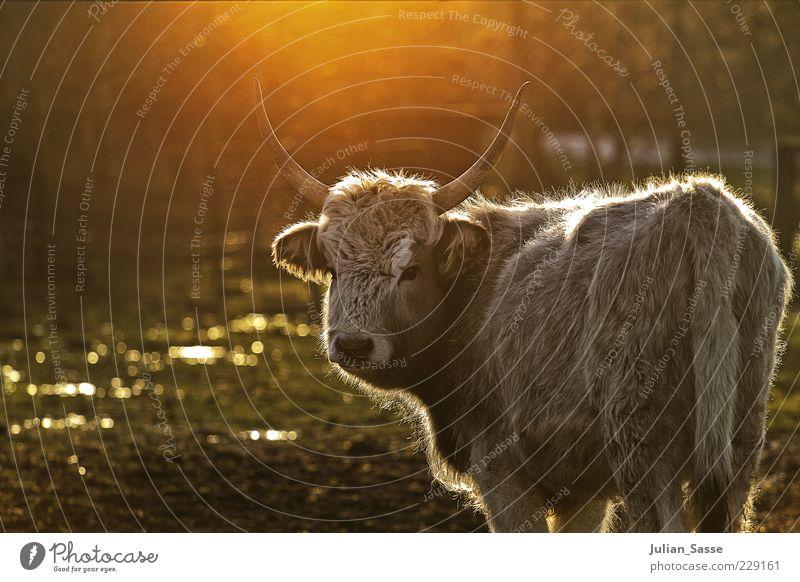 Heckrind Natur Tier Umwelt Kopf glänzend Wildtier Tiergesicht Fell Weide Kuh Schönes Wetter Horn erleuchten Nutztier Rind Licht
