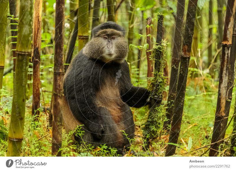 Ruandischer goldener Affe, der mitten in Bambuswald sitzt Gesicht Baby Natur Pflanze Tier Sommer Park Wald Haustier niedlich wild schwarz Farbe Tiere