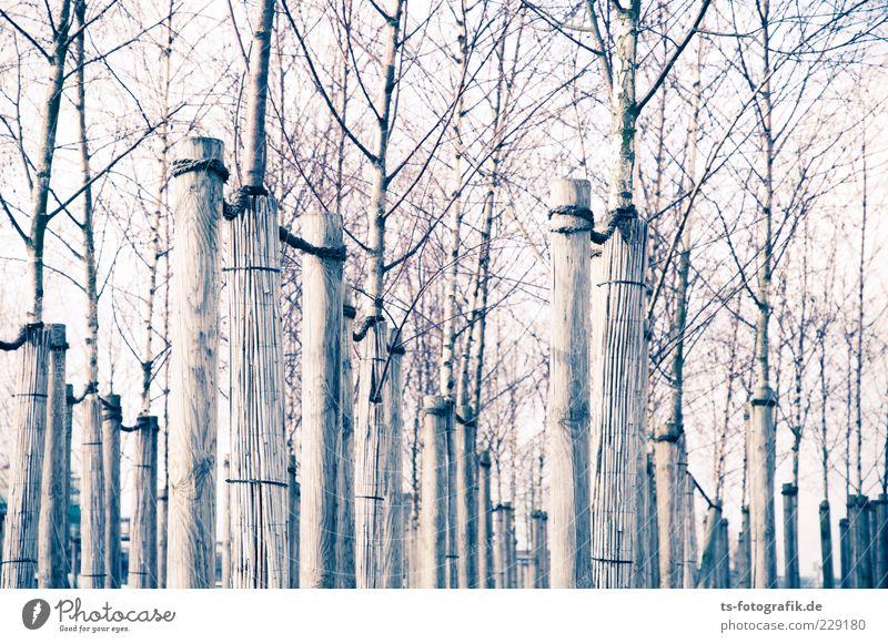 Gefesselte Natur Umwelt Pflanze Himmel Baum Holz Linie dünn lang braun grau gleich kahl Halterung Strebe Baumstamm Baumschule Ast Winter Herbst Birke Monokultur