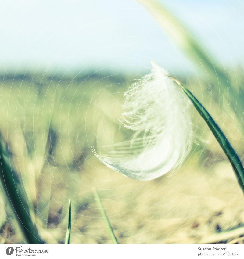 federleicht weiß Pflanze Wiese Garten Gras Zufriedenheit ästhetisch Boden Feder weich zart Frieden Halm Leichtigkeit sanft