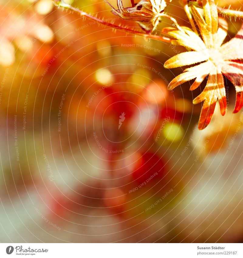 morning! Sommer Pflanze Blume Sträucher leuchten herbstlich mehrfarbig Herbst Sonnenlicht Schatten Unschärfe Außenaufnahme Nahaufnahme Detailaufnahme Tag
