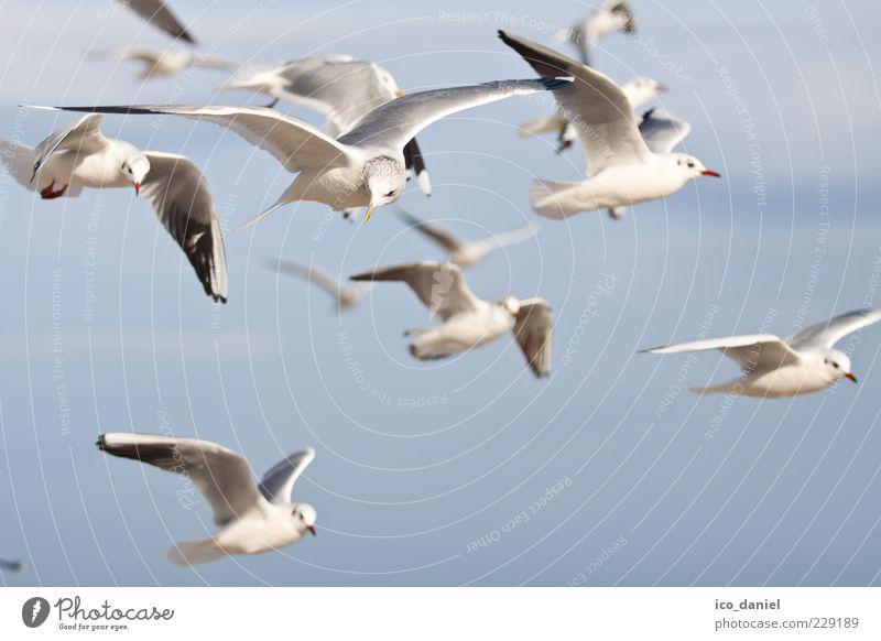 flugmöwen Natur Luft Wildtier Vogel Tiergruppe Schwarm fliegen Blick schön Farbfoto Außenaufnahme Menschenleer Tag viele Möwe Vogelflug