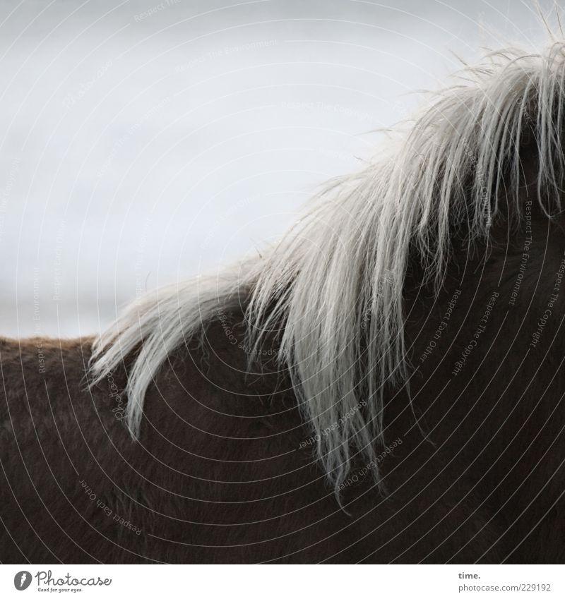 ein Pferdchen für suze Natur Tier braun Rücken Fell geheimnisvoll Anschnitt Nutztier Mähne buschig Island Ponys dunkelbraun Winterfell