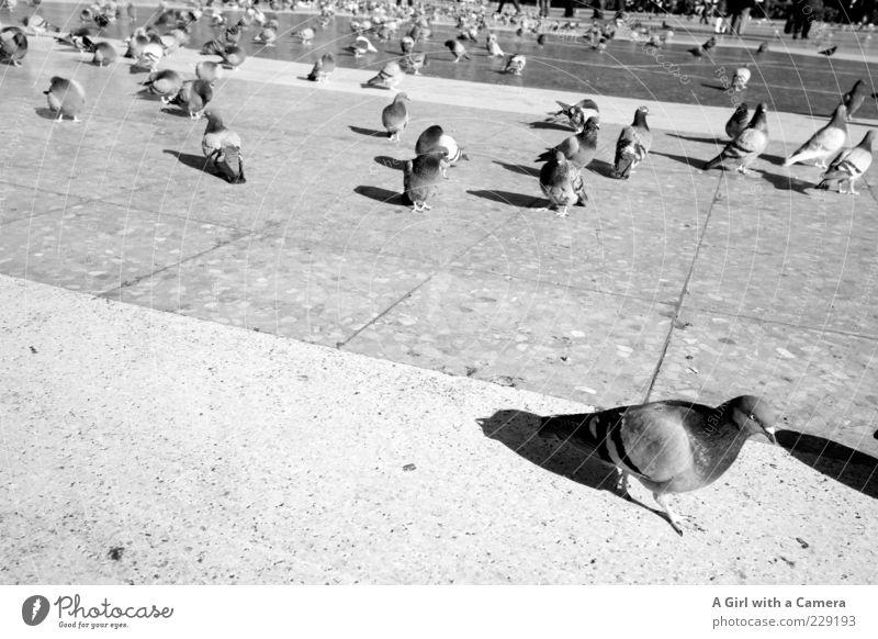 ab mit euch Bewegung Stein Vogel Platz Tiergruppe viele Taube Neigung Schwarm Vogelschwarm Schwarzweißfoto Steinboden