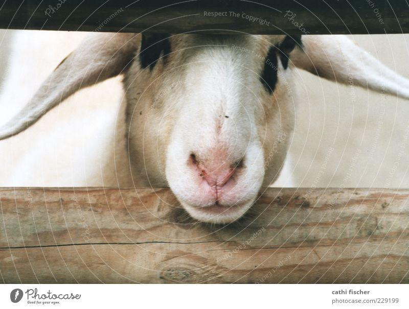 ein schaf. Tier Nutztier Tiergesicht Fell Zoo Streichelzoo Schaf Ohr Nase Maul 1 Blick Holz Balken gefleckt schwarz Säugetier Zaun Kopf rosa analog Schnauze