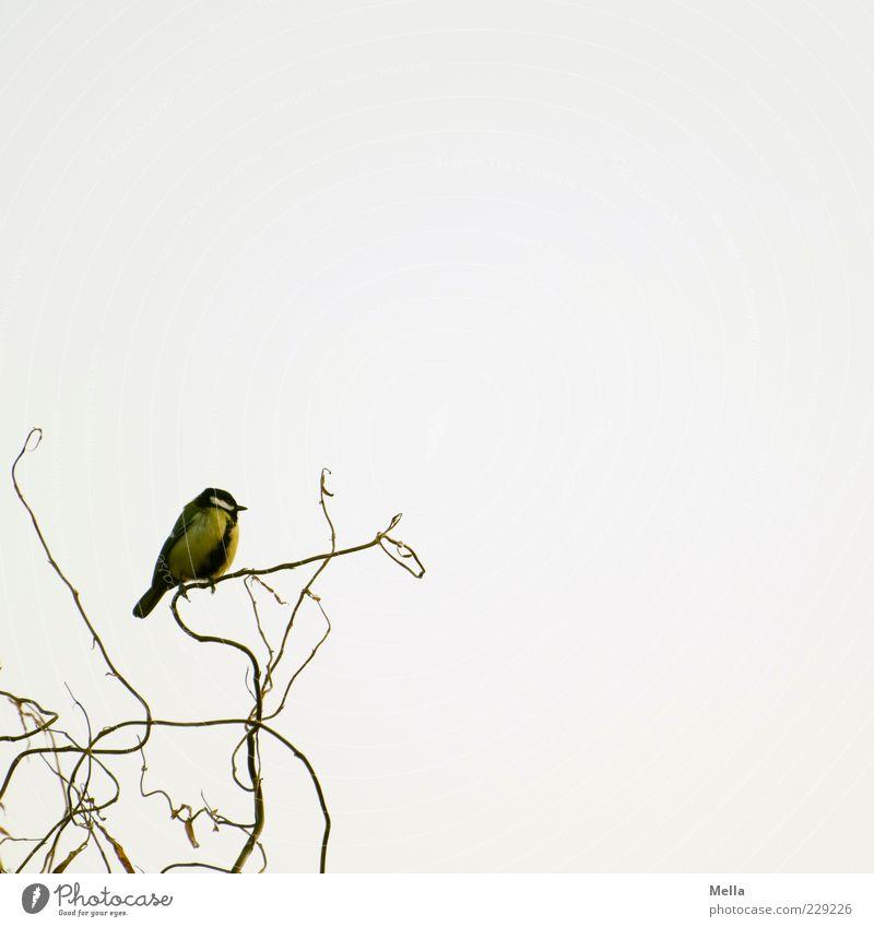Auf dem aufsteigenden Ast Natur Tier Umwelt natürlich klein Freiheit Vogel hell frei sitzen Ast niedlich Weide Geäst hocken Meisen